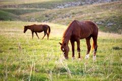 Betande hästar på solnedgången Arkivbild