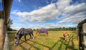 betande hästar paddock tre Arkivbilder