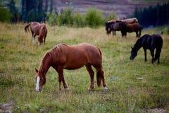 Betande hästar, Ukraina, Carpathian berg Royaltyfri Bild