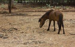 Betande hästback Royaltyfri Bild