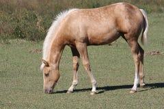 betande hästbarn Arkivfoto