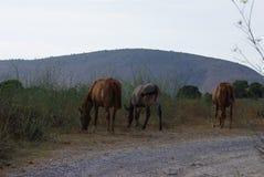 betande hästberg Royaltyfria Foton