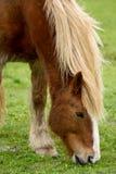 Betande hästclose upp royaltyfria bilder