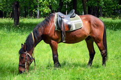 betande hästlawn Arkivfoto