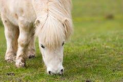 betande hästponny shetland Royaltyfri Bild