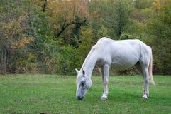 betande hästwhite Royaltyfri Fotografi