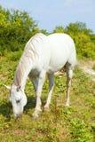 betande hästwhite Fotografering för Bildbyråer