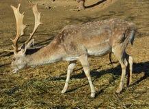 Betande hö för hjortar Royaltyfri Fotografi