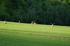 Betande hjortar för gräs på ängen royaltyfri bild