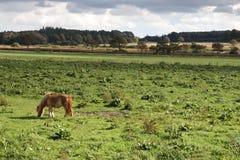 betande häst Arkivbild