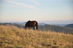 betande häst Royaltyfri Fotografi