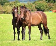 betande häst för fjärd Arkivfoton
