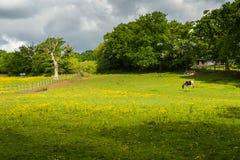 Betande häst på lantgården Arkivbilder