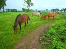 Betande-Ii hästar Royaltyfri Foto