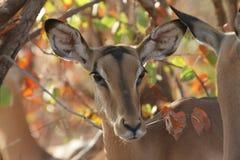 betande impala Royaltyfri Foto