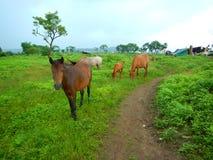 Betande-JAg hästar Fotografering för Bildbyråer