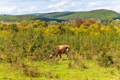 Betande ko för ko som betar i caucasian berg Fotografering för Bildbyråer