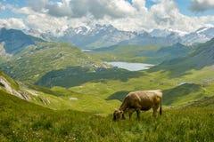Betande ko i schweiziska fjällängar arkivfoton