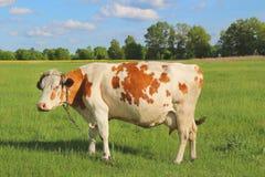 Betande ko på en grön äng Fotografering för Bildbyråer