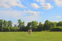 Betande ko på en härlig äng Grönska och moln på himlen Fotografering för Bildbyråer