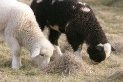 betande lambs två Arkivbild
