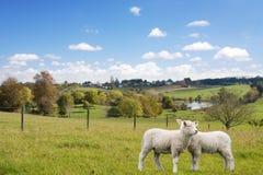 betande lambs två Fotografering för Bildbyråer