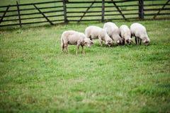 Betande lamm i gör grön trädgården Arkivfoto