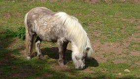 Betande ljus - brun ponny arkivfilmer