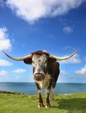 betande longhorn för nötkreatur Arkivfoto