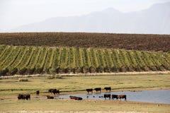 Betande near vattenförsörjning Riebeek Kasteel S Afrika Sydafrika för nötkreatur Arkivbilder