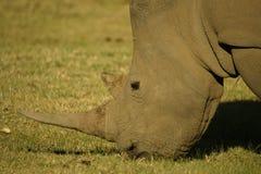 Betande noshörning Arkivbilder