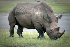Betande noshörning runt om sjön Nakuru i Kenya Arkivfoton