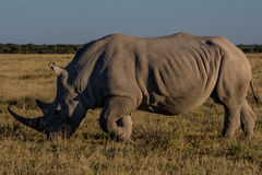 betande noshörningwhite royaltyfri fotografi