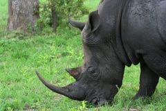 betande noshörning Arkivbild