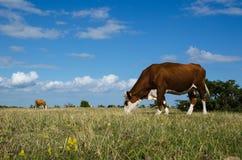 Betande nötkreatur i en stor vanlig grässlätt Arkivfoto