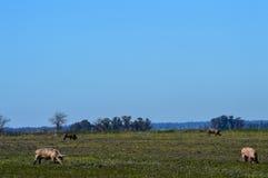 betande pigssvines för fält Royaltyfria Bilder