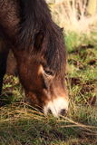 betande ponny Royaltyfria Foton