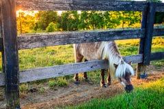 Betande ponny Arkivfoton