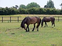 Betande ponnyer Arkivbilder