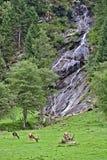 Betande röda fullvuxna hankronhjortar på en äng framme av en brant stenig klippa med vattenfallet arkivfoton