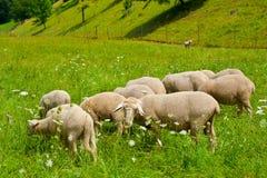 betande sheeps Arkivfoton
