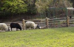 Betande sheeps som är svartvita på det near staketet för äng Fotografering för Bildbyråer