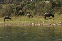 betande vatten för buffel Arkivbild