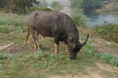 betande vatten för buffel Royaltyfria Foton