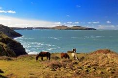 Betande vildhästar, Ramsey Island, Ynys Dewi och Pembroke Coast Royaltyfri Bild