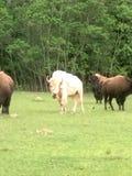 Betande vit buffel Royaltyfria Bilder