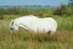 Betande vit häst i den Camargue nationalparken, Frankrike Arkivbilder