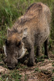 betande warthog fotografering för bildbyråer