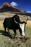 betande yak arkivfoto
