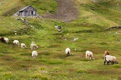 Betar av får på Grossglockner den höga alpina vägen Arkivbilder